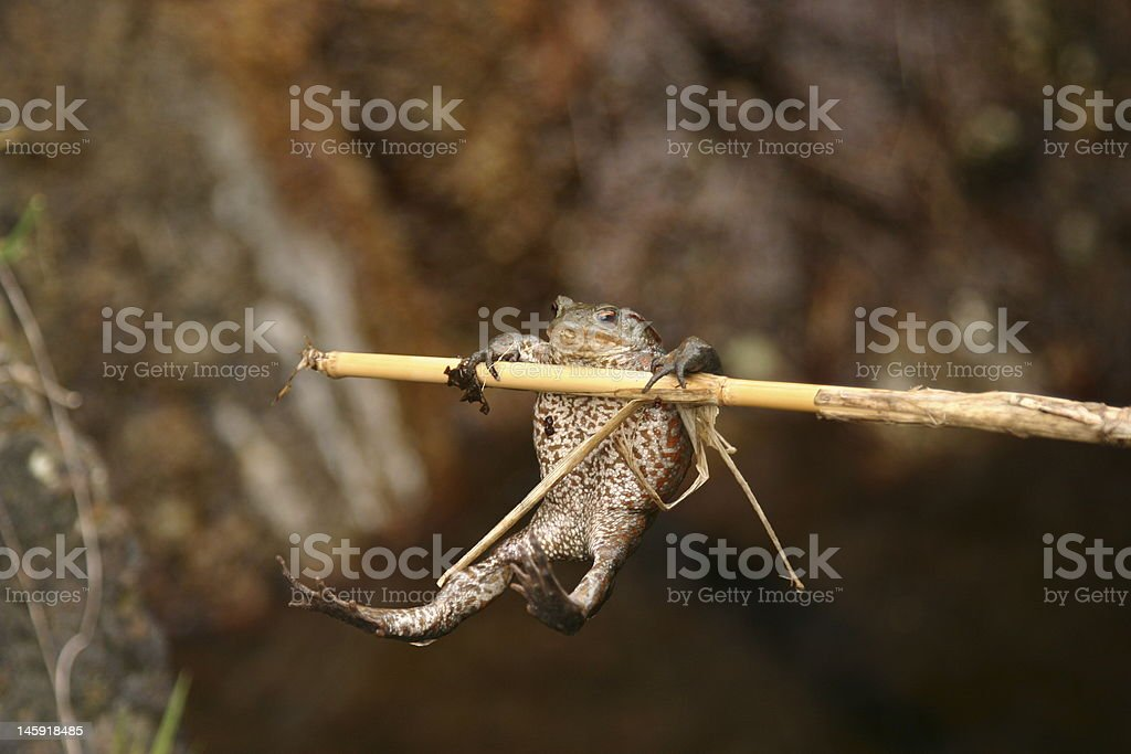 Frog hung to a bamboo stick royalty-free stock photo