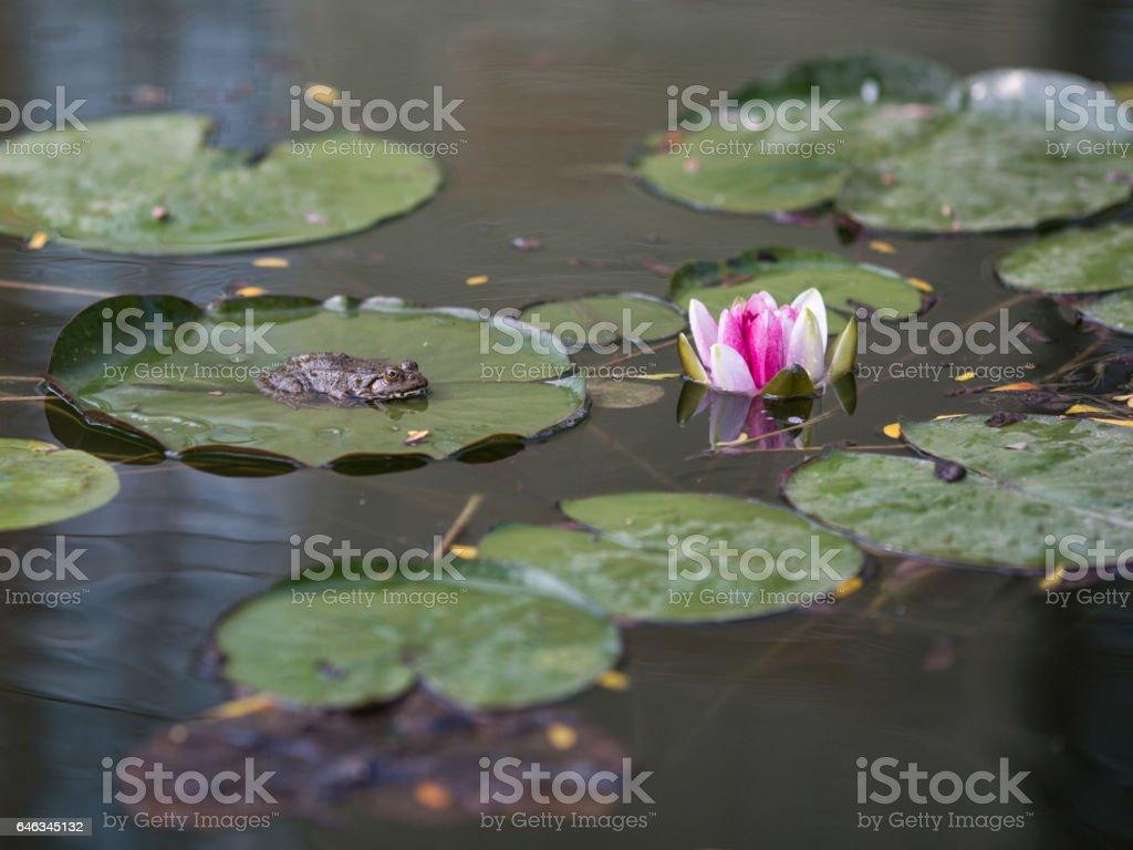 Frosch in einem Teich  – Foto