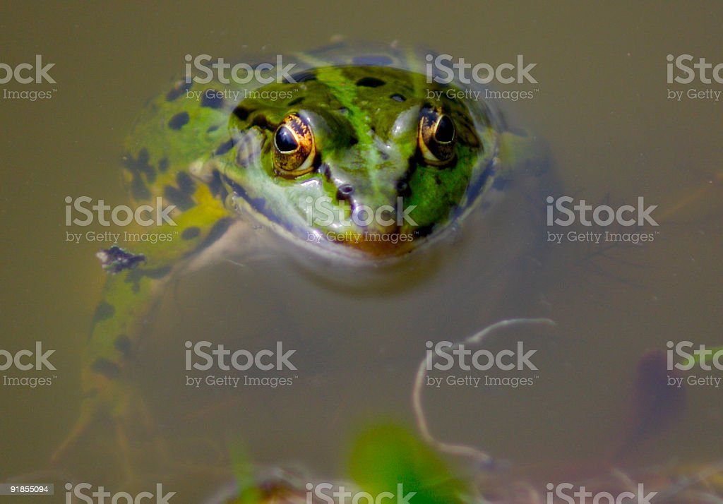 Frog in a pool stock photo