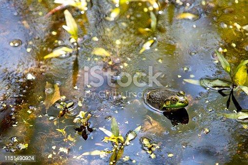 Frog in natural environment.