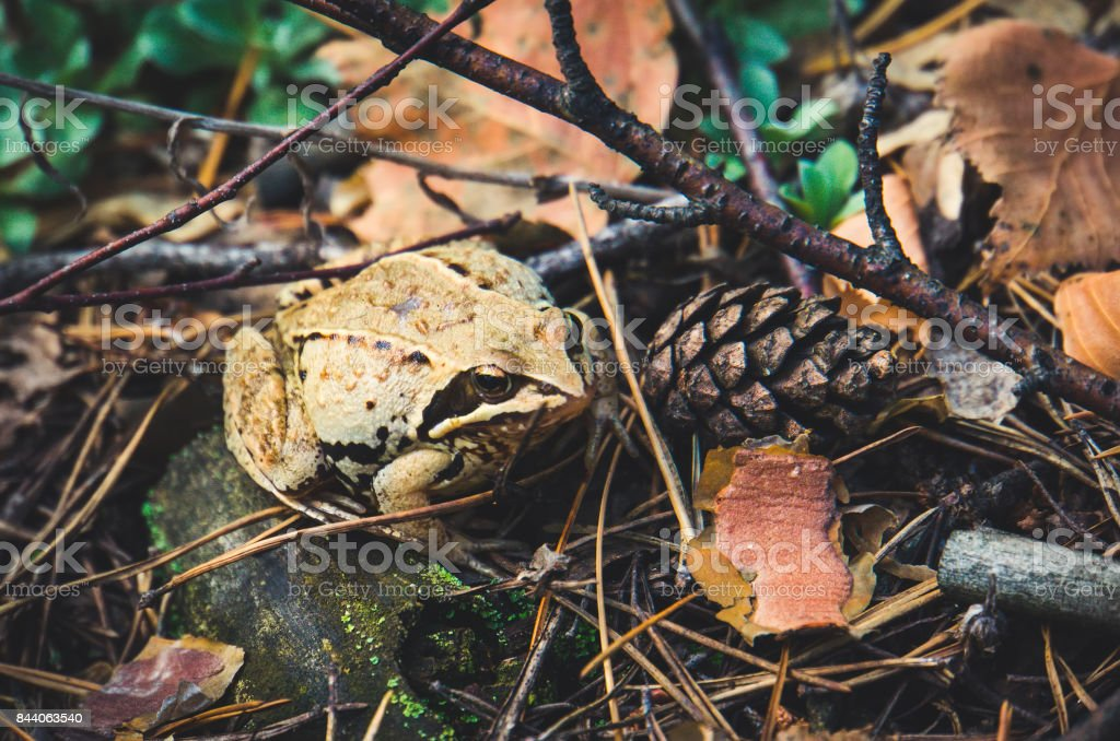 Frog in autumn forest. stock photo