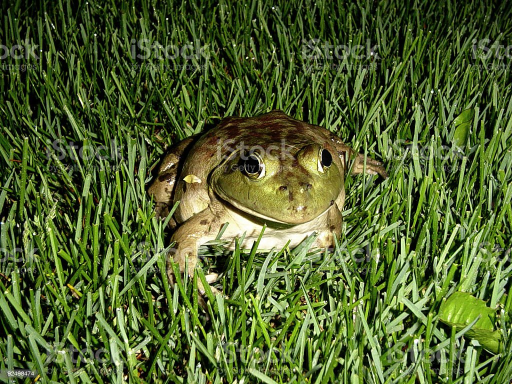 Frog in Grass royalty-free stock photo