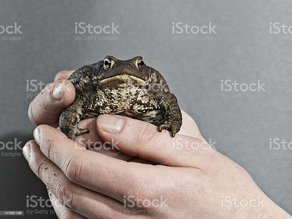 Frog in hands royalty-free stock photo