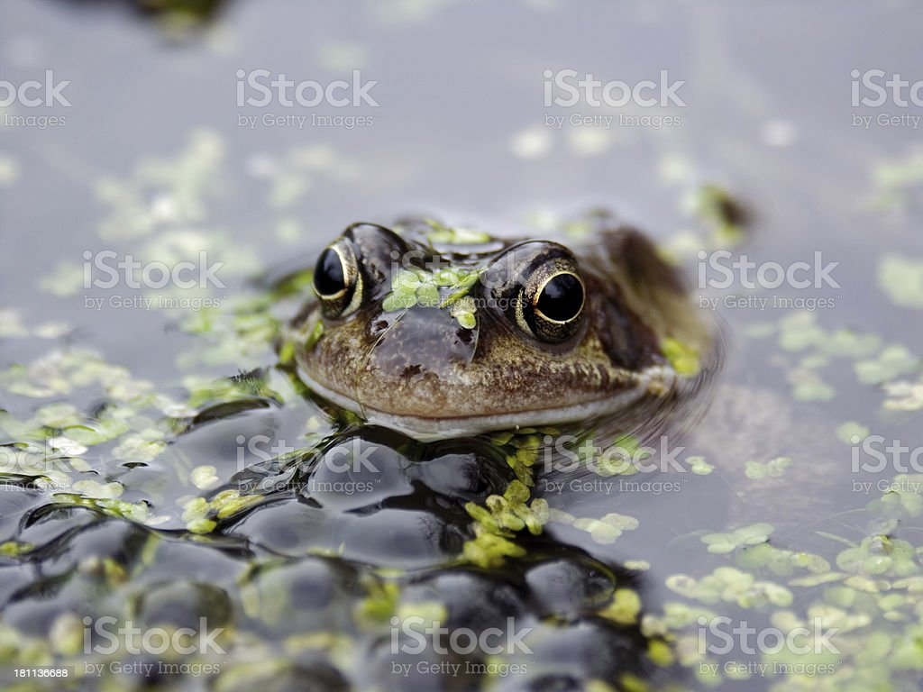 Frog in Spawn stock photo