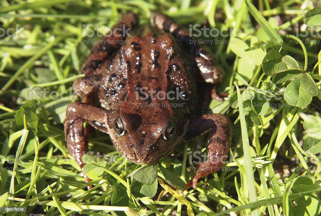 frog in the grass royalty-free stock photo