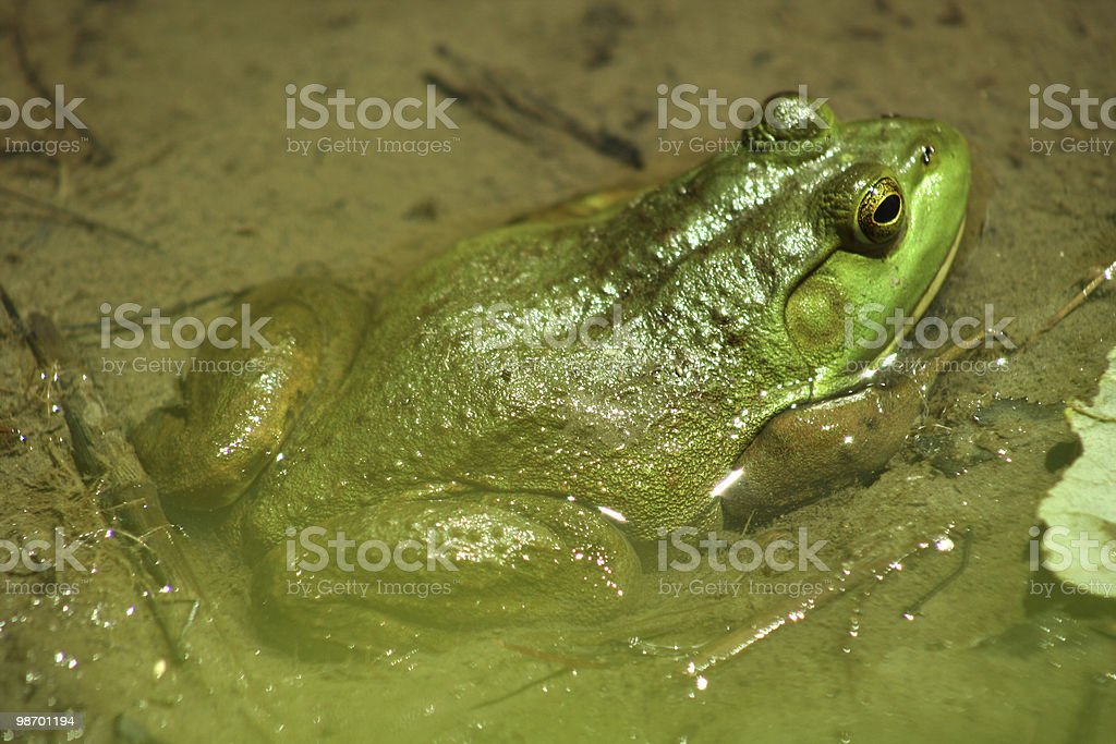 Frog in the mud royalty-free stock photo