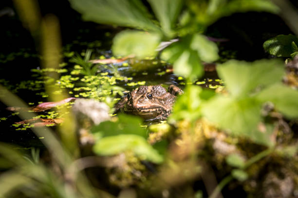 frog in the pond - wildlife conservation stock photos and pictures