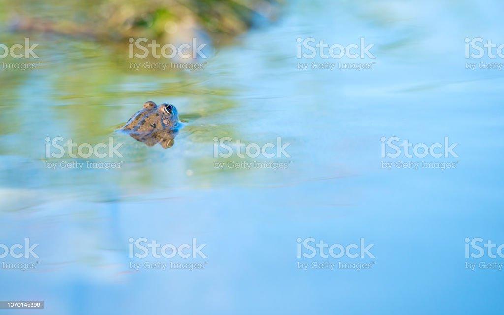 Frosch im Wasser – Foto