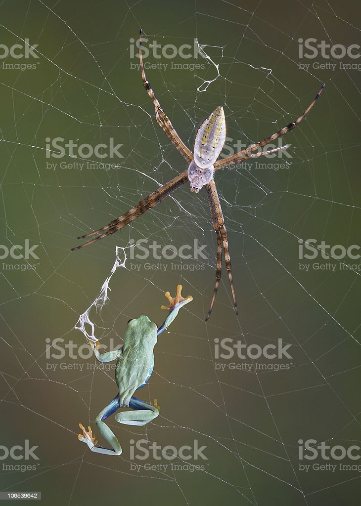 Frog in the web stock photo
