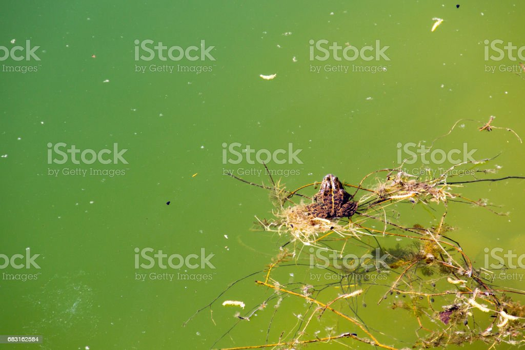 Frog in water 免版稅 stock photo
