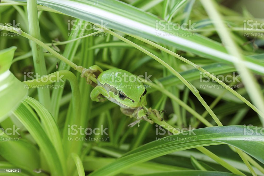 Frog is hidding in the leaves royalty-free stock photo