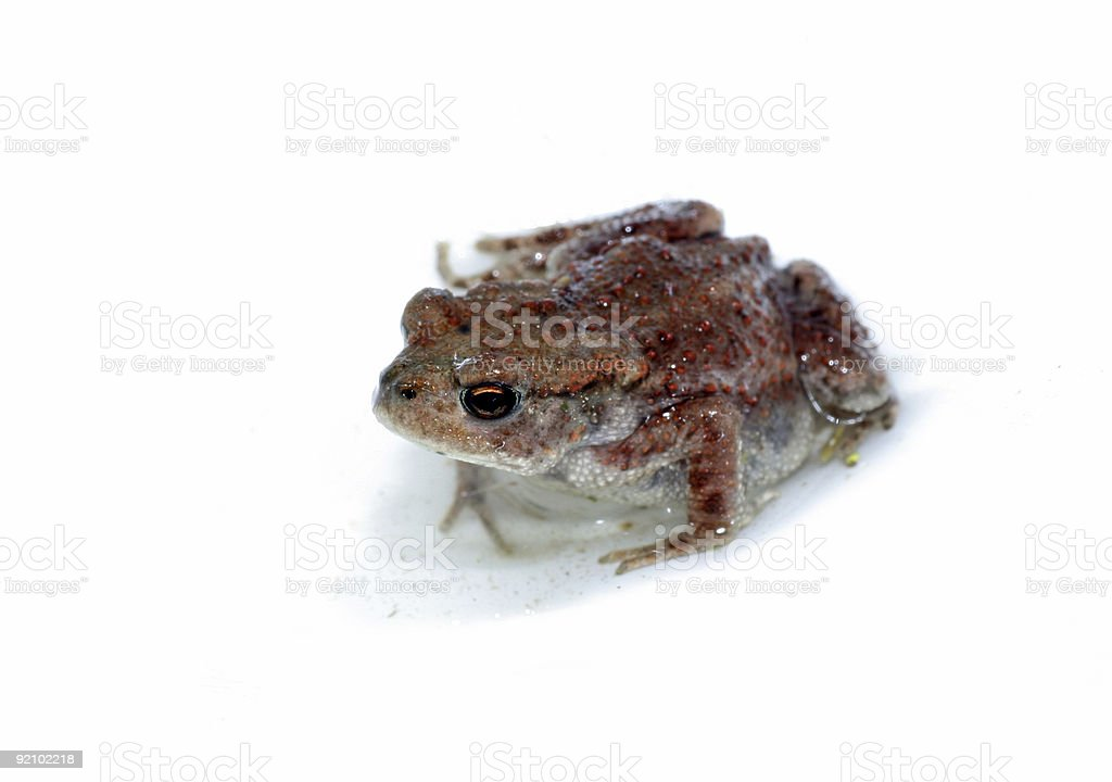 Frog, isolated on white stock photo