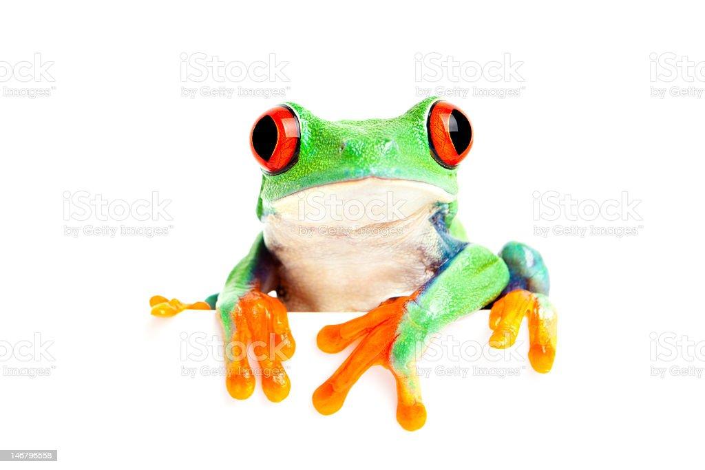 frog isolated on white sitting edge stock photo