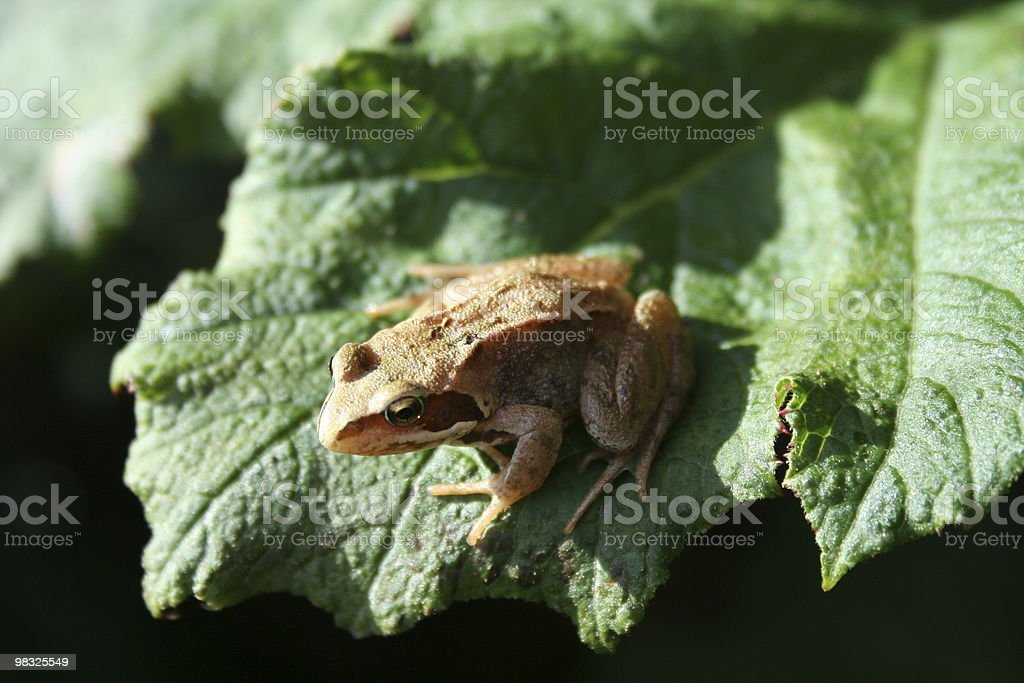 frog leaf royalty-free stock photo