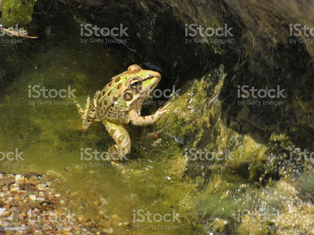 Frog lurking stock photo