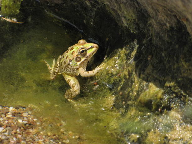 Frog lurking - fotografia de stock