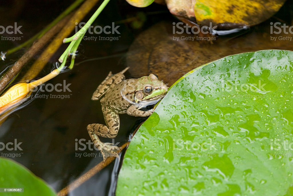 Frog on a lily pad. stock photo