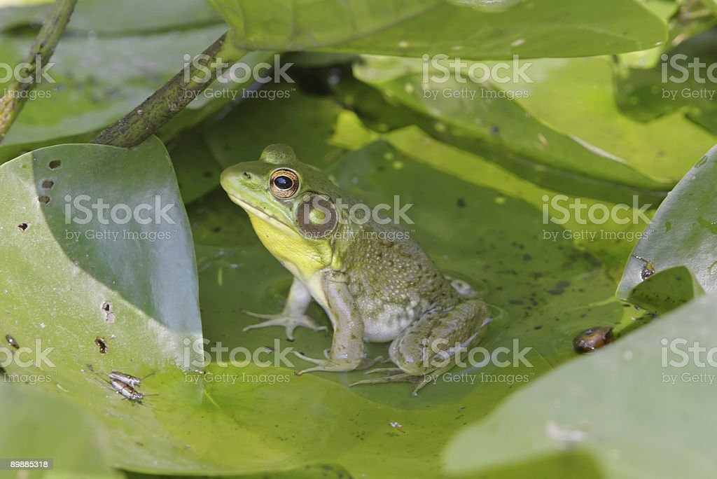 Frog On A Lily Pad royalty-free stock photo