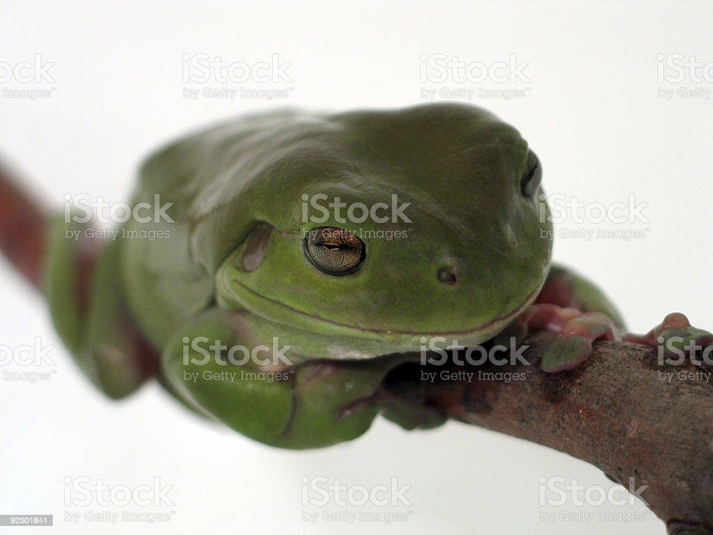 frog on a limb royalty-free stock photo