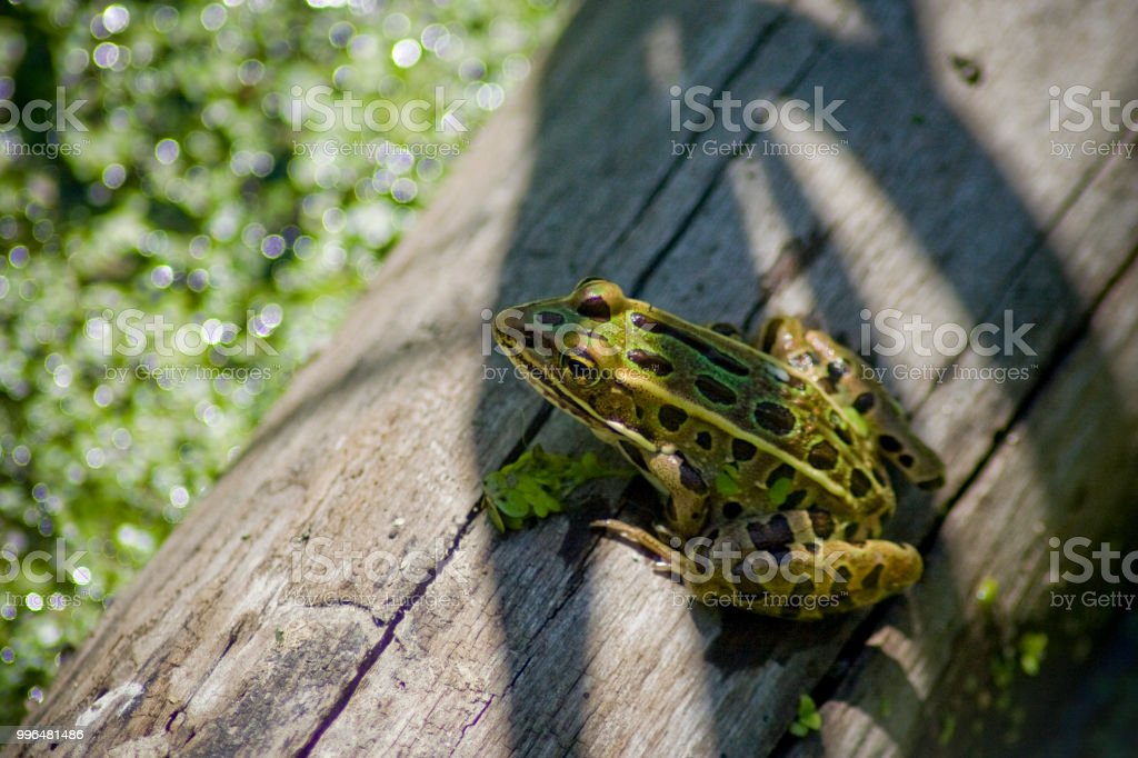 Frog on a Log stock photo