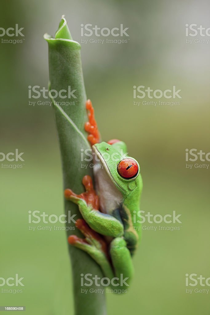 Frog on a plant in its natural environment royalty-free stock photo
