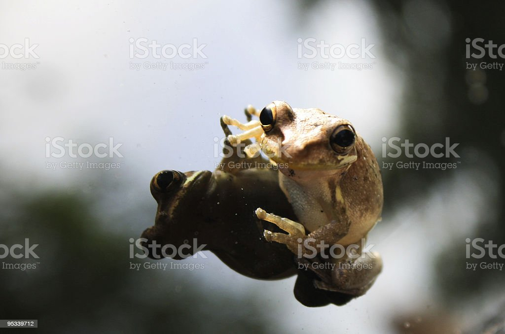 Frog On A Window stock photo