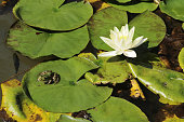 Frog on big green leaf and nymphaea alba, also known as the European white water lily or rose or nenuphar.