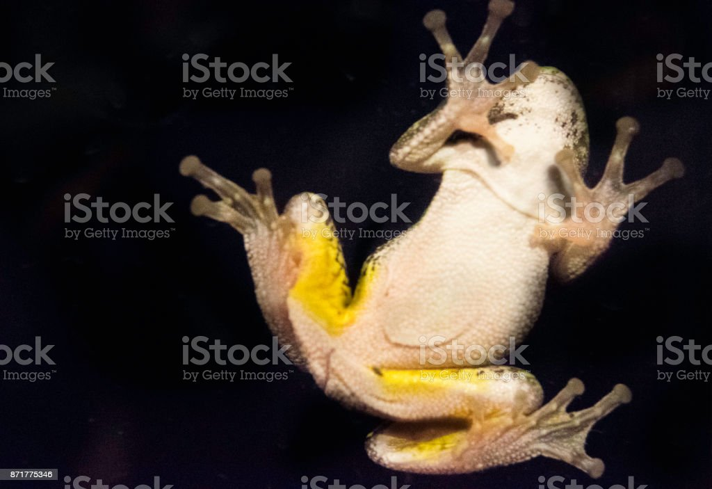 Frog on glass at night stock photo