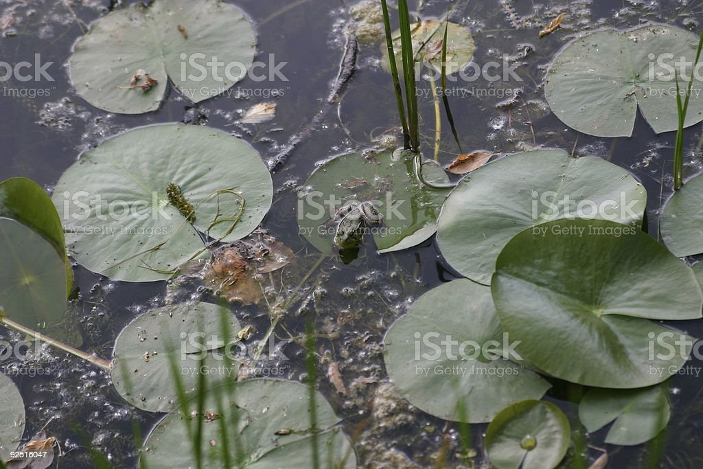 Frog on Lillypad royalty-free stock photo