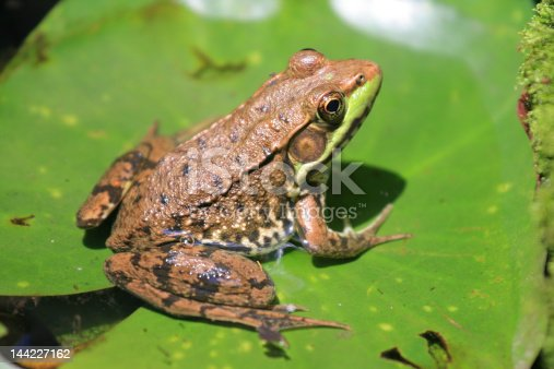 Green chested frog basking in the sun on lily pad