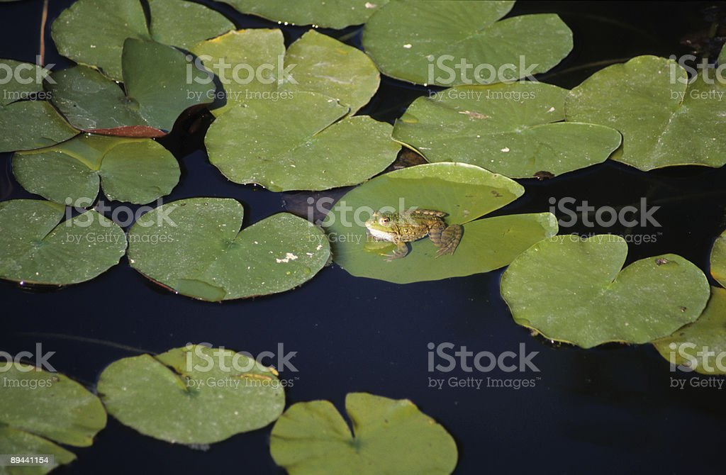 Frog on lily pad, side view, Turkey royalty-free stock photo
