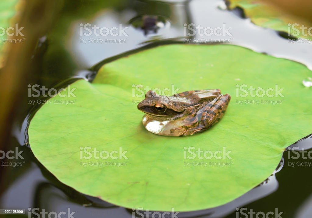 Frog on lotus leave. stock photo