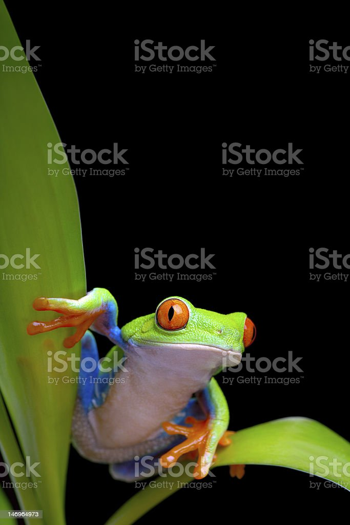 frog on plant leaves isolated black stock photo
