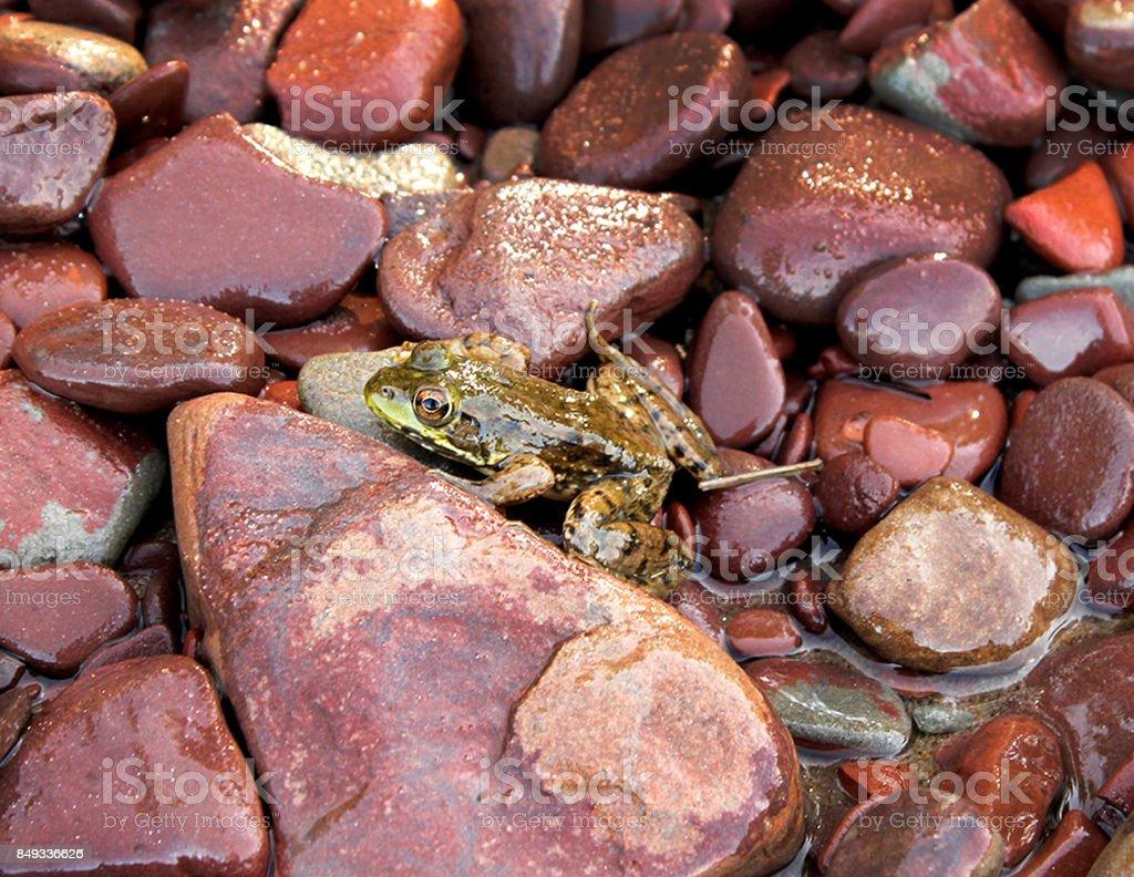 Frog on Rocks stock photo