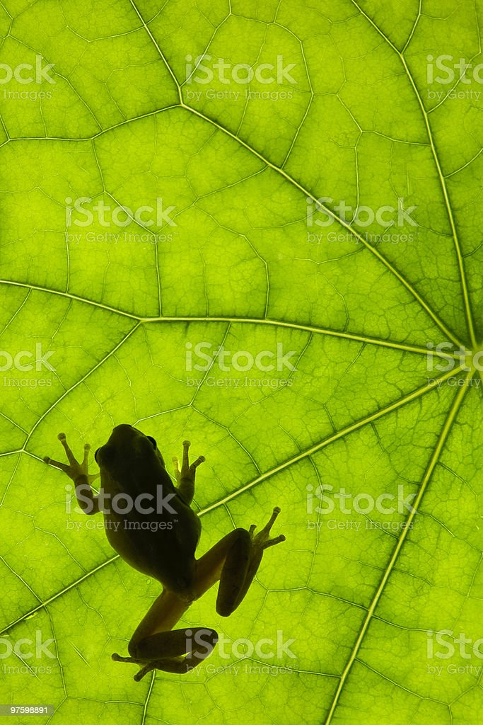 Frog on the underside of a tropical leaf royalty-free stock photo