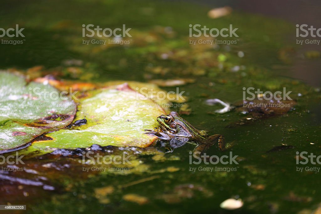 Frog on water lily stock photo