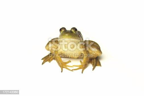Green bullfrog isolated on white background.