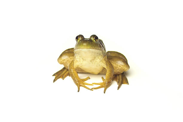 frog on white - croak stock pictures, royalty-free photos & images