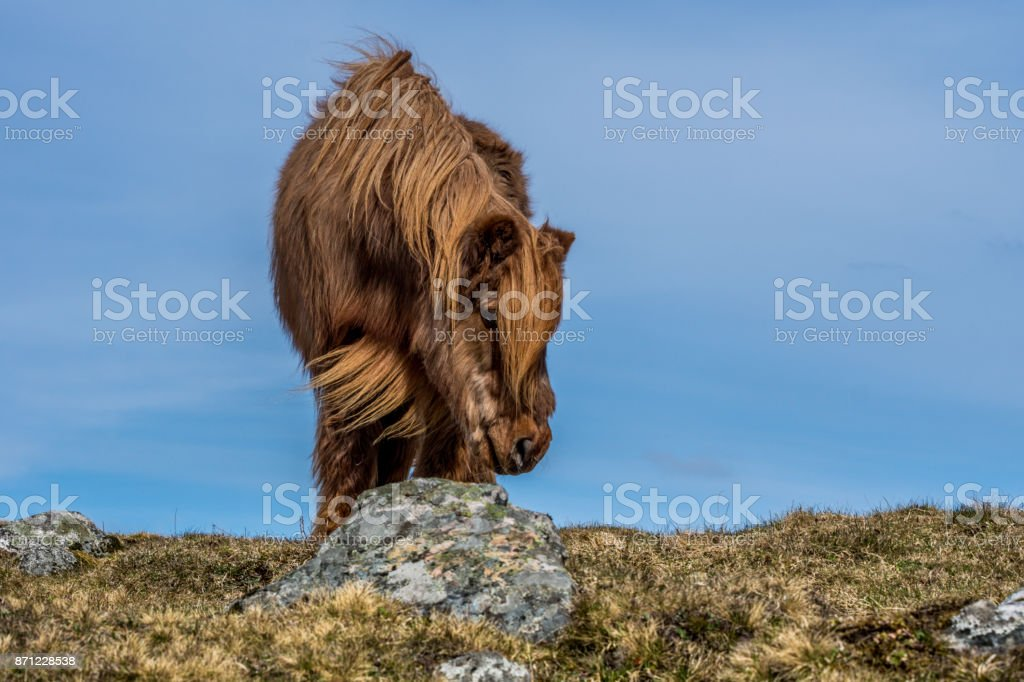 Frog perspective of chestnut colored Icelandic horse stock photo