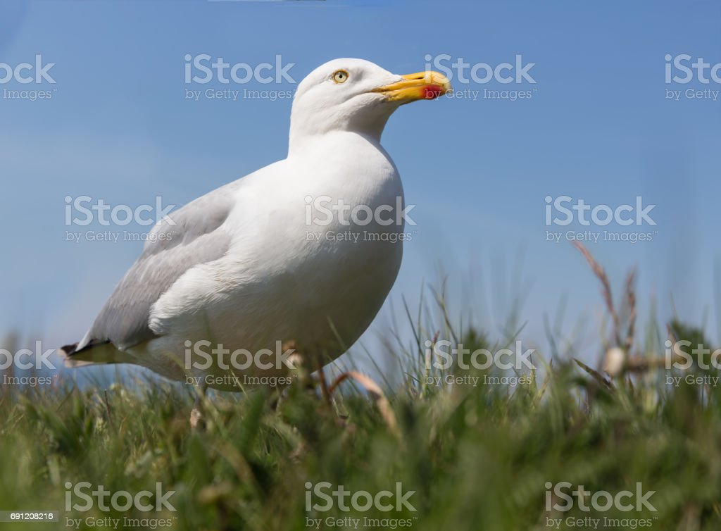 Frog perspective of Herring gull at German island Helgoland stock photo