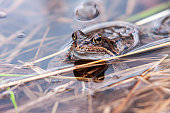 Frog in water macro photography