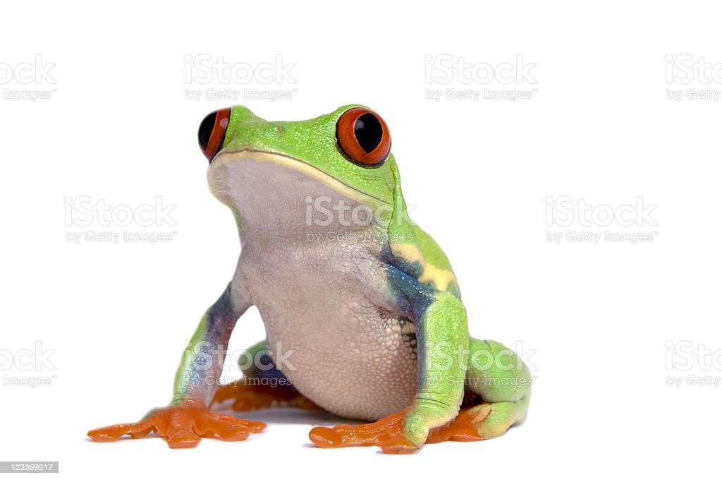 frog (agalychnis callidryas) stock photo