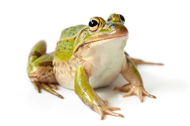 V Frog Kpm Royalty Free Fr...