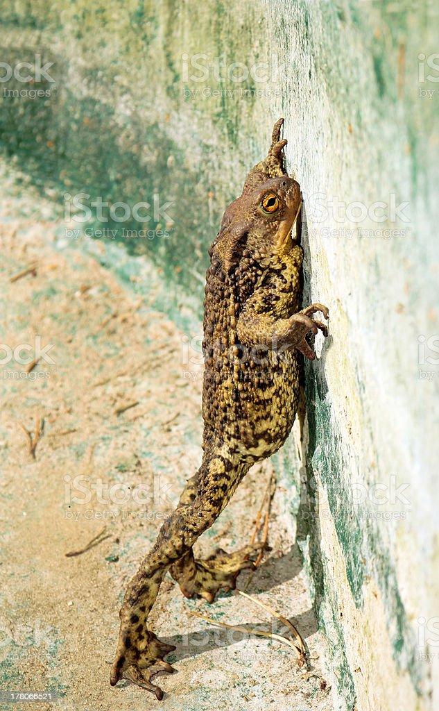 Frog. royalty-free stock photo