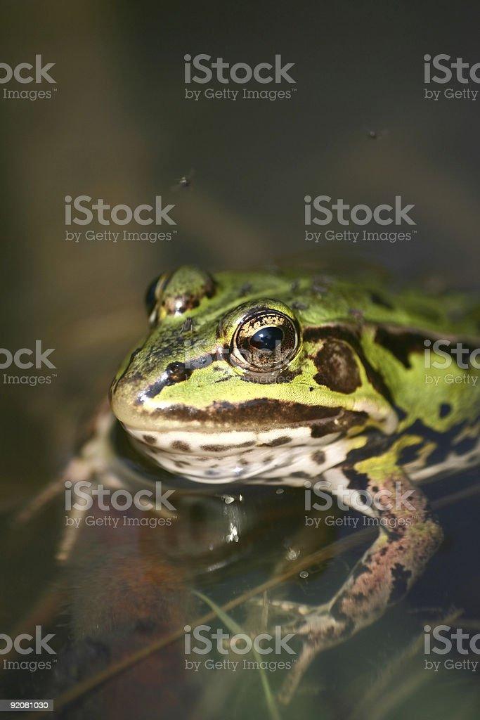 Frog royalty-free stock photo