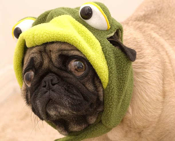 Frog Pug stock photo
