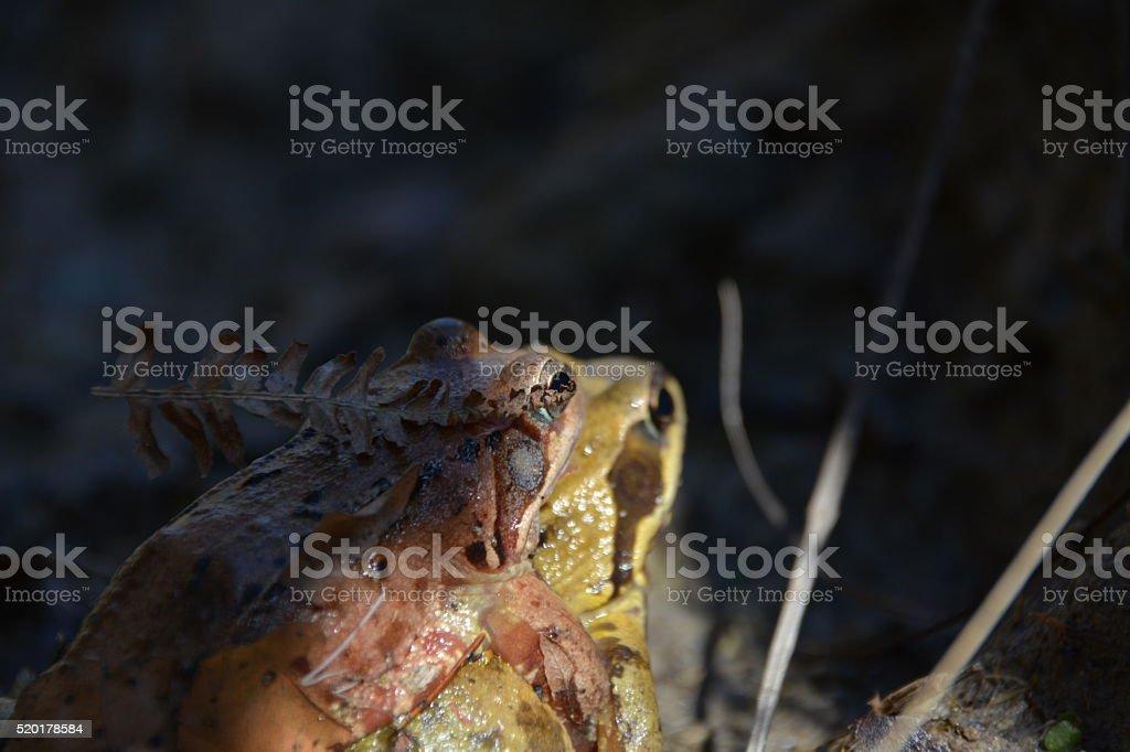 Frog Sex Amphibian stock photo