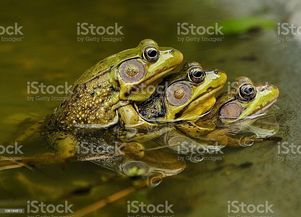 Frog Sex Amphibian Piggyback Mating stock photo