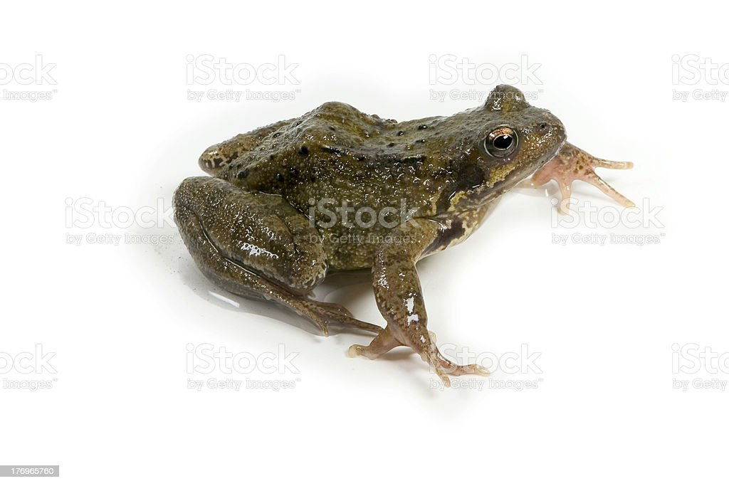 frog side view royalty-free stock photo