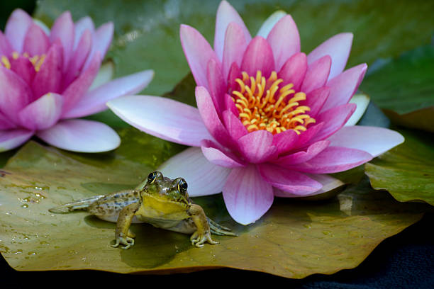 frog sitting between pink water lillies. - croak stock pictures, royalty-free photos & images